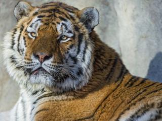 обои Серьезный тигр с востока России фото