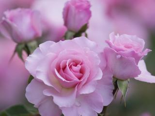 обои Нежно розовая роза фото