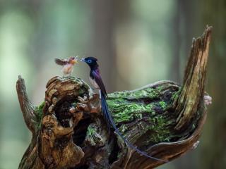 обои Японская райская мухоловка кормит птенца фото