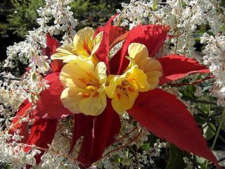 обои Жёлтые цветы с красными листьями фото