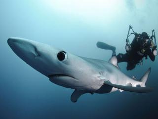 обои Синяя акула и дайвер фото