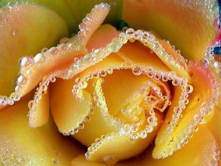 обои Слёзы бежевой розы фото