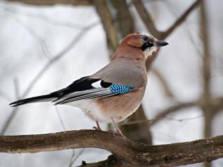 обои Сойка - зимняя птичка фото