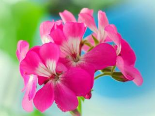 обои Цветы герани фото