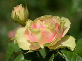 обои Бутон и роза фото