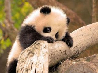 обои Маленькая стеснительная панда фото