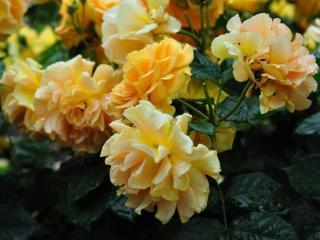 обои Розы под дождем фото