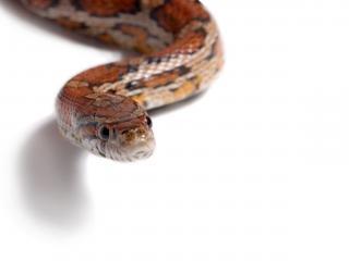 обои Змея крупным планом на белом фоне фото