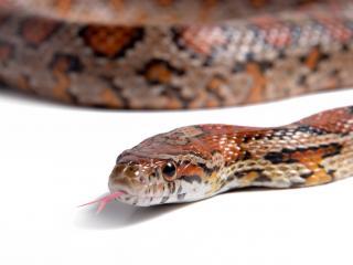 обои Змея с высунутым языком на белом фоне фото