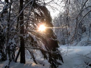 обои Солнце в зимнем лесу фото