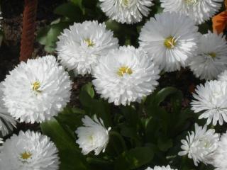 обои Белый куст хризантем фото