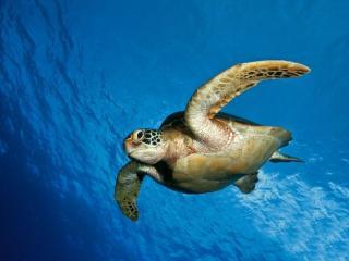 обои Большая морская черепаха фото