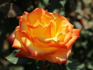 обои Жёлто-красная роза фото