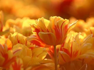 обои Жёлто-красные тюльпаны фото