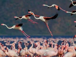 обои Летящие фламинго фото