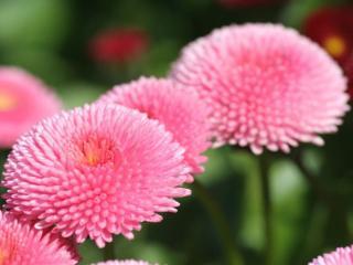 обои Розовые цветочные шарики фото