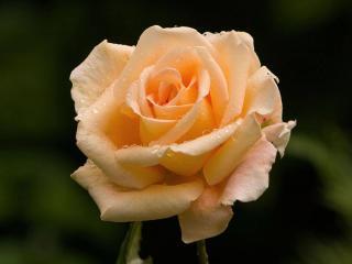 обои Романтическая роза фото