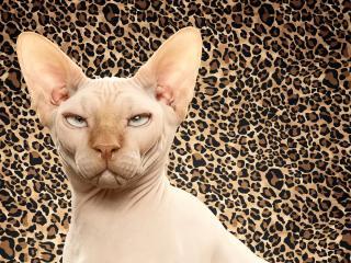 обои Сфинкс на фоне леопардовой шкуры фото