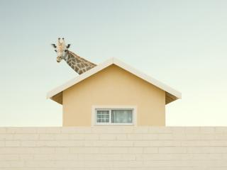 обои Жираф выглядывает из-за крыши фото