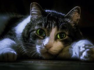 обои Зеленоглазый кот фото
