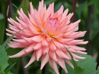 обои Расцветает розовый георгин фото