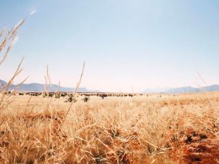 обои Пожухлая трава саванны фото
