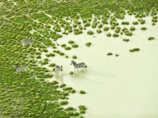 обои Зебры на зеленом пастбище фото
