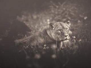 обои Львица лежит на траве полуобернувшись фото