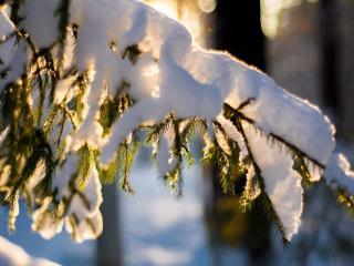 обои Зимний блеск еловой ветки фото