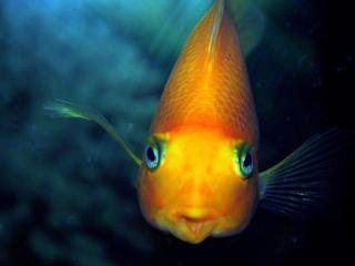 обои для рабочего стола: Золотая рыбка - чего тебе надобно..