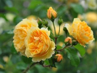 обои для рабочего стола: Куст жёлтых роз под дождём