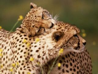 обои Леопарды - он и она фото