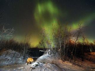 обои Лиса и северное сияние. штат Аляска фото