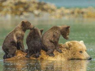 обои Медвежата на спине медведицы переплывают озеро фото