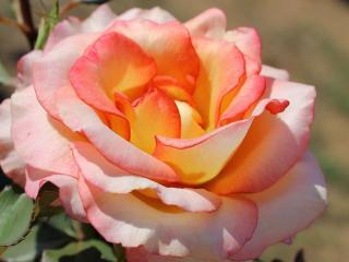 обои Пушистая роза фото