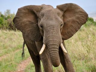 обои Большой слон фото