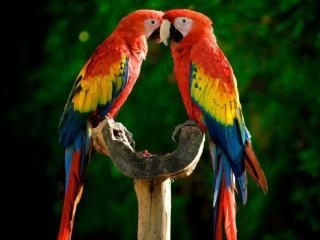 обои для рабочего стола: Два красивых попугая