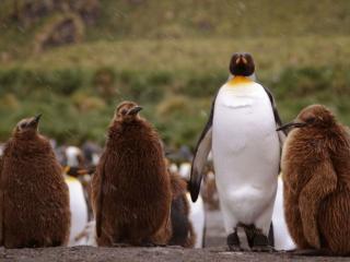 обои Пингвины под дождём фото