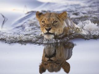 обои Плывущая львица фото