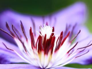 обои Сердцевина сиреневого цветка фото