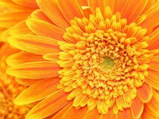 обои Солнечная хризантема фото