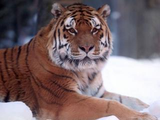 обои Тигр и зима фото