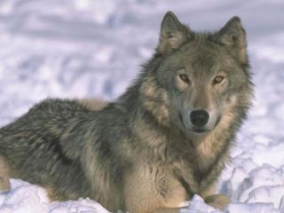 обои Взгляд умного волка фото