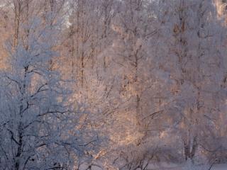 обои Деревья в инее фото