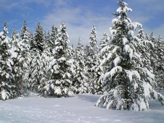 обои Заснеженный еловый лес фото
