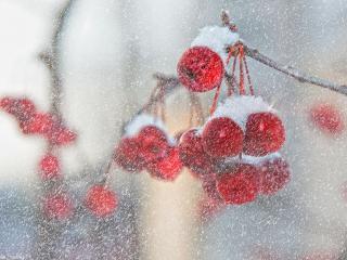 обои для рабочего стола: Снег и маленькие красные яблочки
