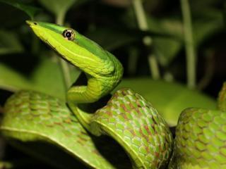обои Зелёная змея. Шри Ланка фото