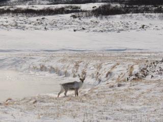 обои Камчатский северный олень фото