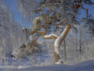 обои Северная сосна в снегу фото