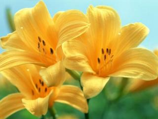 обои Жёлтые лилии фото